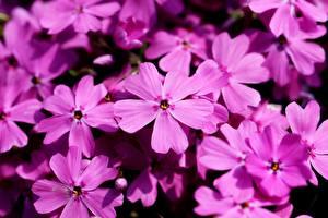 Обои Флоксы Крупным планом Много Розовая цветок