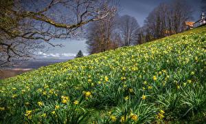 Обои Весенние Нарциссы Много Холмы Ветки Природа Цветы