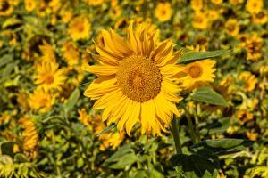 Фото Подсолнечник Много Желтые Размытый фон цветок