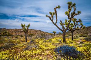 Картинка США Парки Весна Деревья Калифорнии Joshua Tree National Park Природа