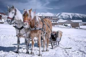 Обои Зима Лошади Санках Снега Двое Животные
