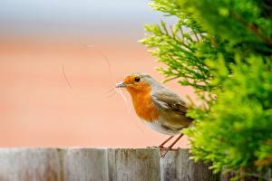 Фото Птицы Сбоку Размытый фон European robin Животные
