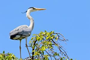 Фотография Птицы Цапля Ветки Grey Heron животное