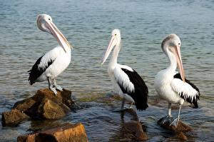 Обои Птица Вода Камни Пеликаны Три животное