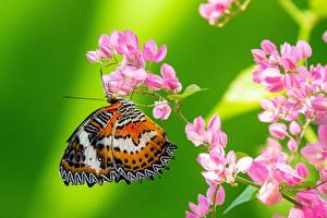 Обои для рабочего стола Бабочка Насекомые Крупным планом Животные