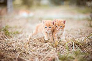 Обои Кошка Котят Боке Трава Два Рыжие Милые