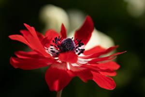 Фотографии Вблизи Ветреница Боке Красная Цветы