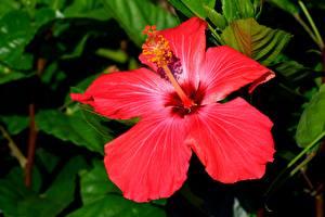 Фото Крупным планом Гибискусы Красный цветок