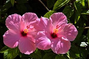 Фотография Вблизи Гибискусы Два Розовая Цветы