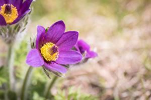 Фотография Вблизи Прострел Боке Фиолетовых цветок