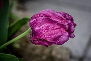 Фото Вблизи Тюльпаны Размытый фон Капли Фиолетовая цветок