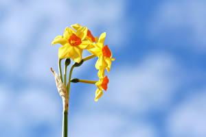 Обои Нарциссы Крупным планом Желтый Цветы картинки