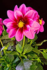 Картинки Георгины Крупным планом Черный фон Розовый Цветы