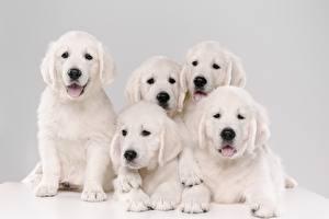Обои Собаки Золотистый ретривер Щенки Белых 5