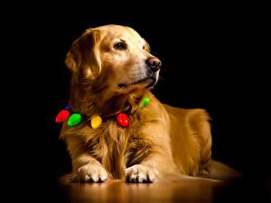 Картинка Собака Золотистый ретривер На черном фоне Морды Лапы животное