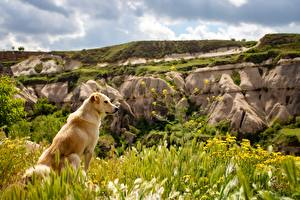 Фото Собаки Золотистый ретривер Трава Сидя Животные