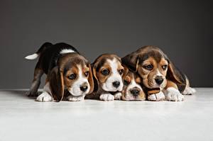 Фотографии Собака Щенки Четыре 4 Бигля
