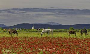 Фотография Поля Маки Лошадь Забора Животные