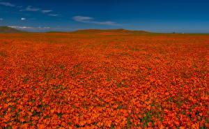 Фотографии Поля Маки Много Красный Природа Цветы
