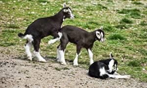 Картинка Коза козел Трое 3 Трава Животные