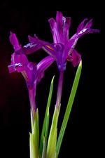 Обои для рабочего стола Ирисы Вблизи Черный фон Фиолетовые Двое цветок