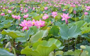 Фотография Лотос Много Розовая Бутон Цветы