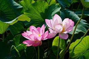 Фото Лотос Двое Розовый цветок