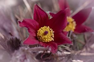 Фотография Прострел Крупным планом Размытый фон цветок