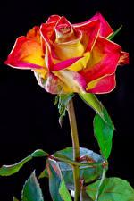 Картинки Розы Крупным планом Черный фон Цветы