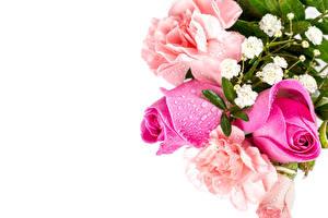 Фотографии Роза Белым фоном Розовых Капель Шаблон поздравительной открытки цветок