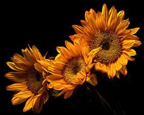 Фотографии Подсолнухи Крупным планом На черном фоне Три Цветы