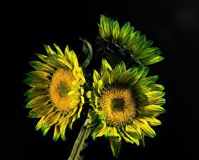 Фотография Подсолнухи Крупным планом На черном фоне Втроем цветок