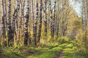 Картинка Деревьев Березы Трава Тропа