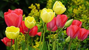 Обои Тюльпан Вблизи Бутон