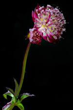 Обои Майоры Вблизи Черный фон Astrantia major цветок