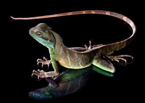 Фотография Ящерицы Хвост На черном фоне chinese water dragon животное