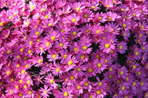 Обои для рабочего стола Астры Много Фиолетовый Symphyotrichum novi-belgii цветок