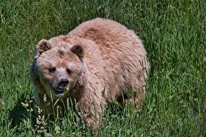 Картинки Медведи Бурые Медведи Трава Взгляд Животные