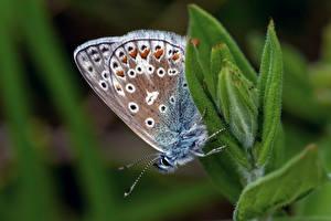 Обои Бабочки Насекомое Крупным планом Размытый фон common blue Животные