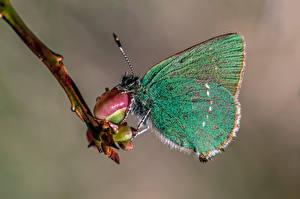 Фотографии Бабочки Насекомое Крупным планом green hairstreak Животные