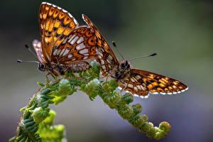 Обои Бабочка Насекомое Крупным планом Две hamearis lucina Животные