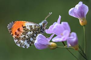 Обои Бабочка Насекомое Крупным планом orange tip животное