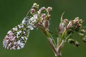 Фотографии Бабочки Насекомые Вблизи orange tip животное