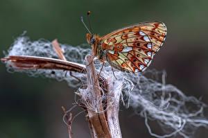Фотографии Бабочки Насекомое Крупным планом pearl-bordered fritillary Животные