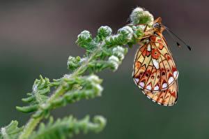 Фотография Бабочки Насекомые Вблизи pearl-bordered fritillary животное