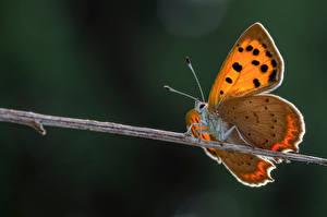 Фотографии Бабочка Насекомые Крупным планом small copper Животные