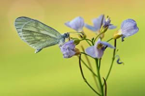Обои Бабочки Насекомые Крупным планом wood white животное