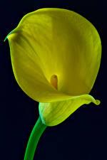 Картинки Каллы Крупным планом Черный фон Желтый