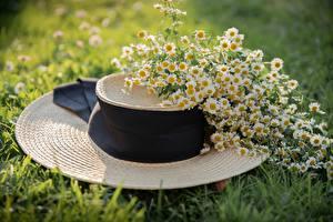 Картинки Ромашки Траве Шляпе цветок