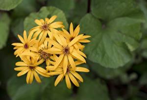 Обои Крупным планом Размытый фон Желтый Ligularia Цветы картинки